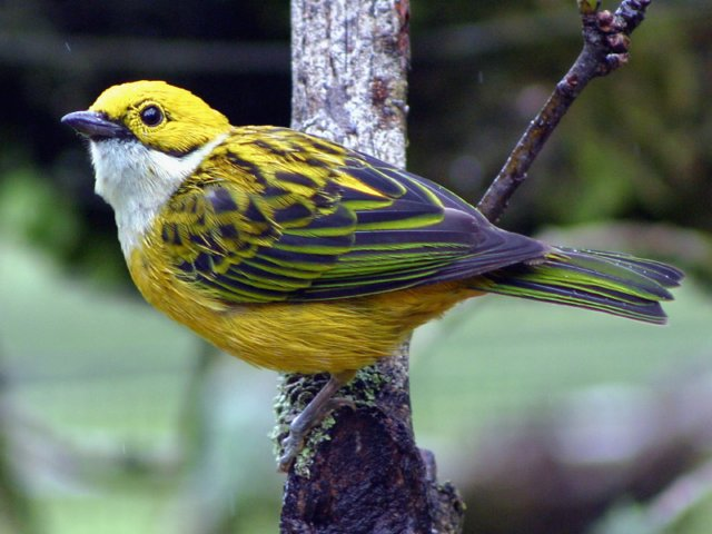 Silver Throated Tanager Cielito Sur B Amp B Inn Bambito
